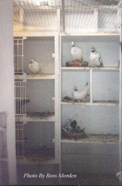 Pigeon Loft | Flying Tippler Society of USA